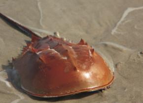 """De ce sunt """"mulși"""" crabii pentru un vaccin împotriva COVID-19. Practica e foarte controversată"""