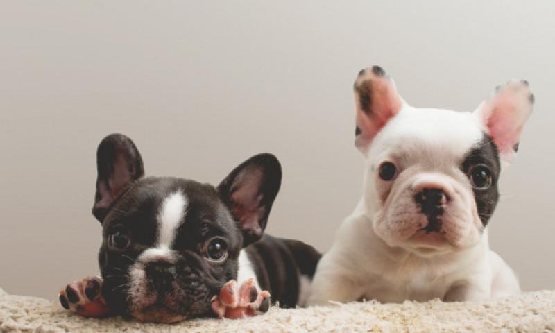 Cât a ajuns să coste un câine de rasă în timpul pandemiei. Prețurile sunt exorbitante