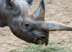 Cel mai bătrân rinocer negru din lume a fost eutanasiat. Motivul pentru care experții au luat această decizie drastică