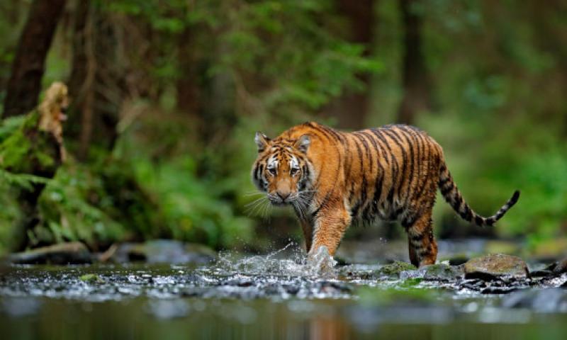 Un tigru a străbătut 3.000 de kilometri în doar nouă luni. Ce s-a întâmplat în momentul în care a intrat în contact cu oamenii