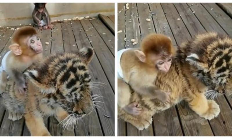 """Imaginile care fac furori pe internet. O maimuță și un tigru au devenit cei mai buni prieteni: """"Sunt de nedespărțit!"""""""