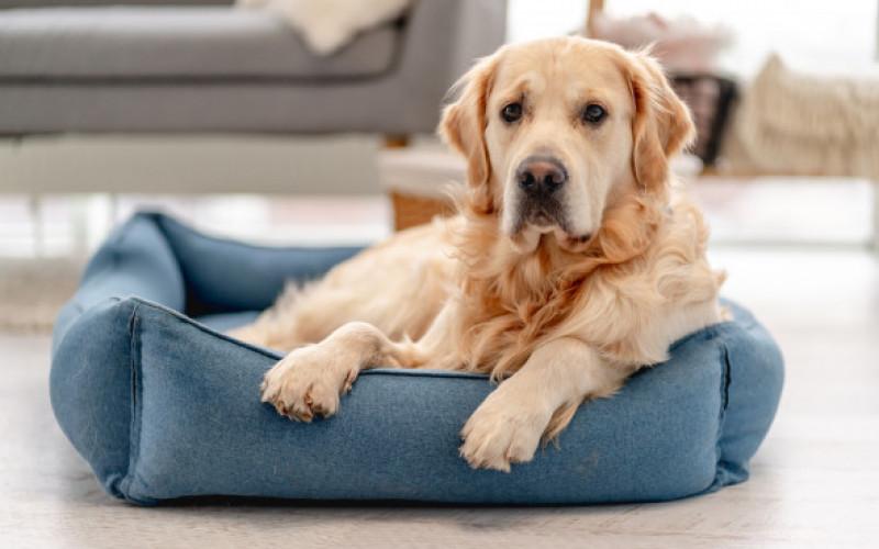 Golden,Retriever,Dog,At,Home