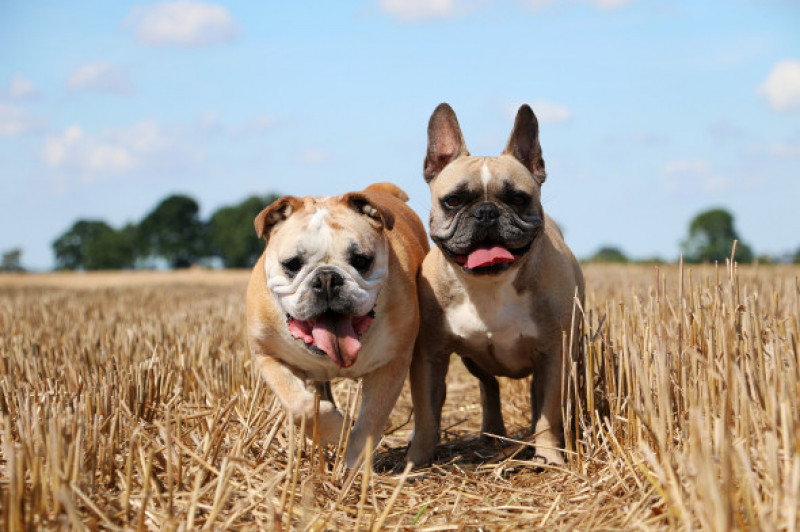 Two,Bulldogs,On,A,Stubble,Field,At,A,Sunny,Day
