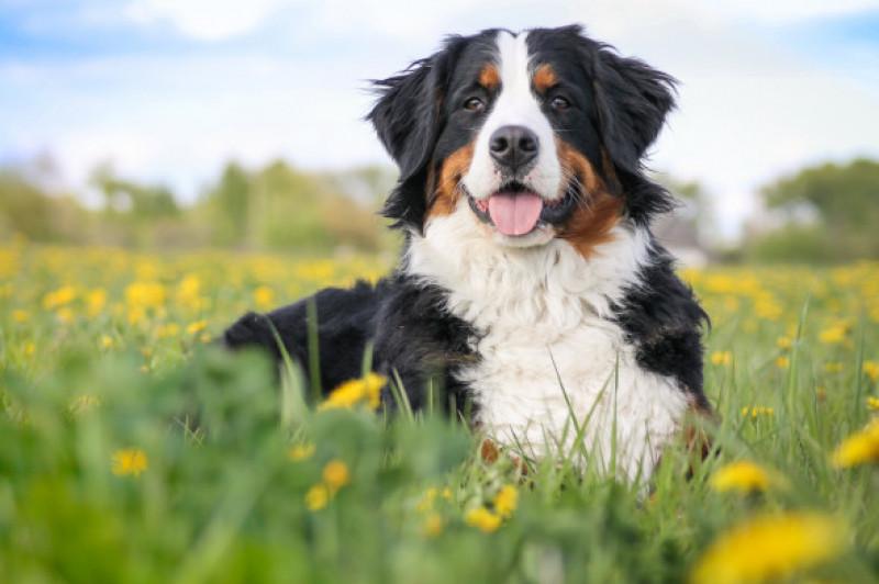 Happy,Bernese,Mountain,Dog,In,Beautiful,Spring,Flowerd,Field.,Spring