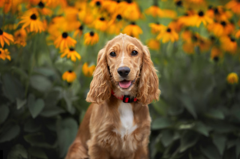 Happy,English,Cocker,Spaniel,Puppy,Portrait,With,Blooming,Flowers,In