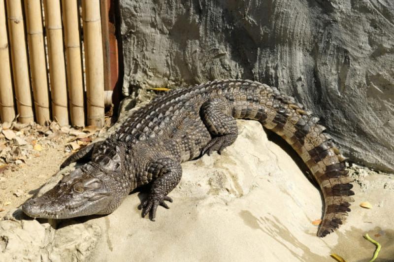 Siamese,Crocodile,In,The,Zoo,Of,Thailand