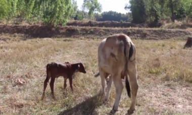 O vacă a născut un pui cu cinci picioare, iar localnicii s-au înghesuit să-l atingă. Motivul este uluitor
