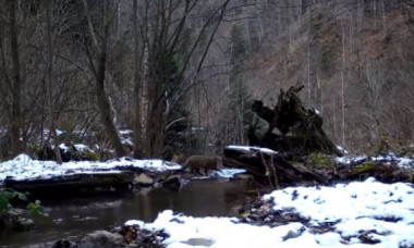 Animal extrem de rar, surprins într-o pădure din Munții Apuseni. Imaginile fac furori pe rețelele sociale