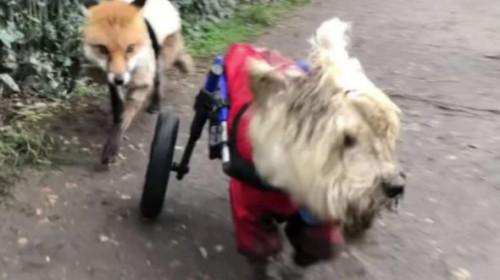 Un câine care se deplasează cu ajutorul unui scaun cu rotile a devenit sprijin pentru o vulpe oarbă. Imaginile au emoționat lumea
