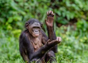 Reacția uimitoare a un cimpanzeu atunci când vede din nou oameni. Imaginile sunt virale