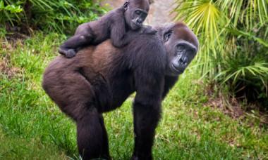 Momentul fascinant în care o gorilă vede un bebeluș a înduioşat internetul. Reacția acesteia e uimitoare