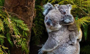 Un koala orb și puiul ei au fost salvați de pe marginea unui drum. Imaginile cu cei doi sunt înduioșătoare