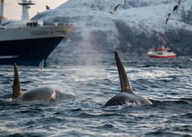 Momentul în care 30 de balene ucigașe atacă barca unui echipaj britanic. Cei trei au rămas blocați pe Gibraltar