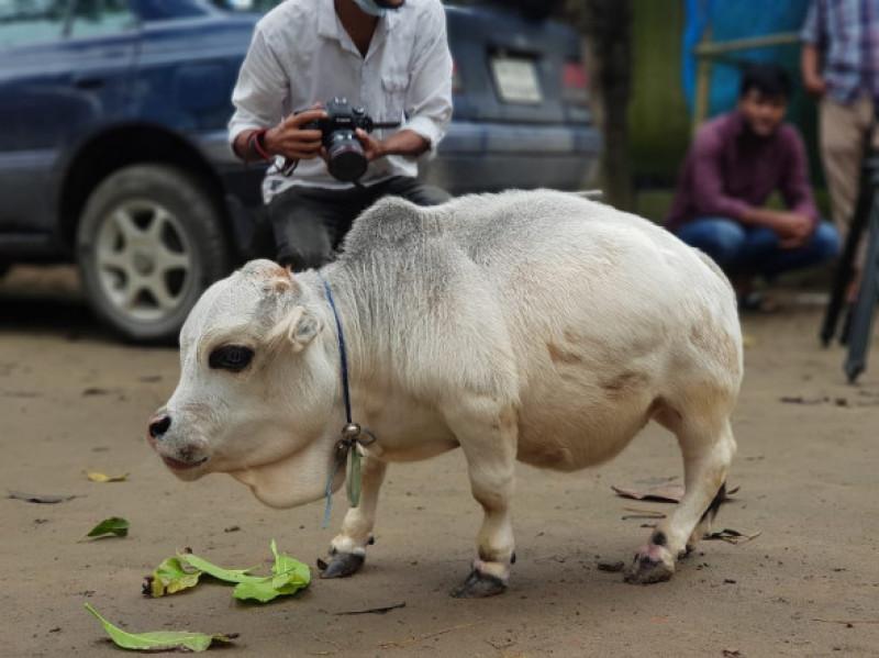 cea mai mica vaca din lume (6)