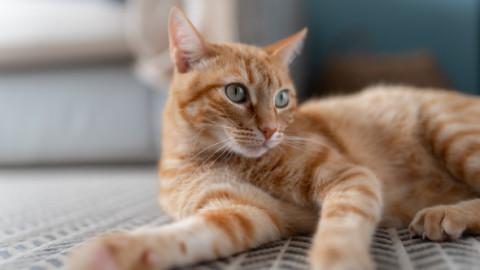 O pisică a devenit vedetă pe TikTok după ce a intrat în casa greșită. Reacția ei este delicioasă