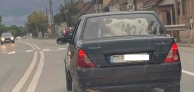 Ce mai cară românii în mașină? Un vițel!
