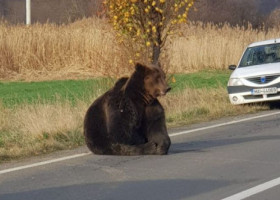 Ursul lăsat să agonizeze a fost ucis