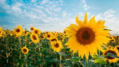 De ce floarea-soarelui se roteste dupa Soare?
