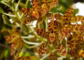 Este cea mai frumoasă și neobișnuită orhidee. Cum arată floarea cu față de maimuță
