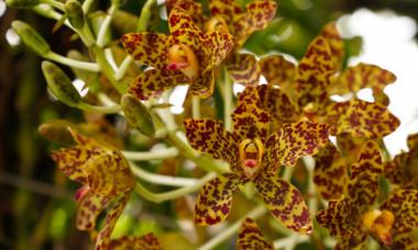 Este cea mai frumoasa si neobisnuita orhidee. Floarea care arata ca o maimuta