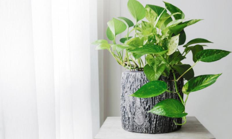 Plante de apartament care nu au nevoie de lumină. Arată minunat și sunt ușor de îngrijit