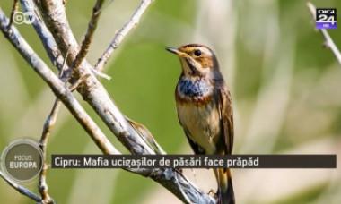 Cum s-a dezvoltat mafia ucigașilor de păsări cântătoare din Cipru. Braconierii folosesc lipici să prindă viețuitoarele de ramuri