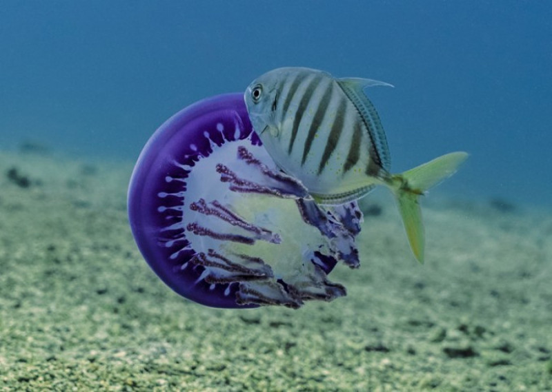 meduza si peste - eduardo sampaio