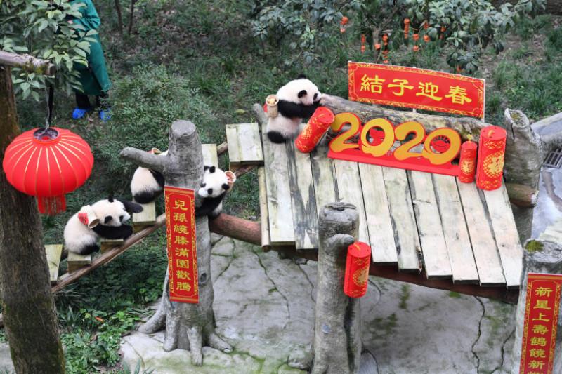 CHINA-CHONGQING-GIANT PANDAS-NEW YEAR GREETING (CN)