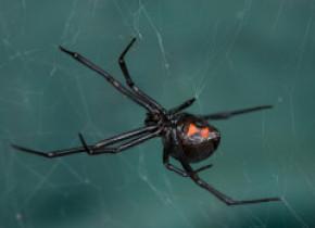 """Trei frați s-au lăsat mușcați de un păianjen """"Văduvă neagră"""" sperând că astfel vor căpăta superputeri"""