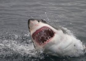 Un rechin din specia Marele Alb a fost filmat pentru prima oară în timp ce atacă și îneacă o balenă de 11 metri