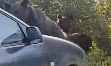 Imagini revoltătoare de la munte. Turiștii au lovit intenționat cu mașina o ursoaică și puii ei pentru că veniseră la mâncarea lor