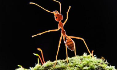 Izolăm grupul sau eliminăm bolnavul? Cum procedează furnicile și maimuțele în cazul epidemiilor