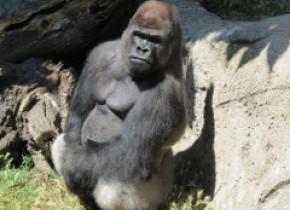 Femeie în stare gravă, după ce a fost atacată de o gorilă la grădina zoologică din Madrid. Incidentul, aparent inexplicabil