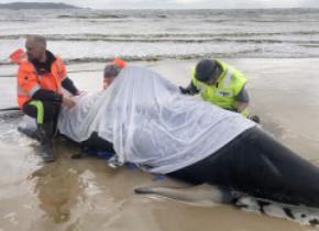 Salvatorii australieni, puși în fața unei decizii dureroase. Vor eutanasia mai multe exemplare dintre balenele eșuate în Tasmania