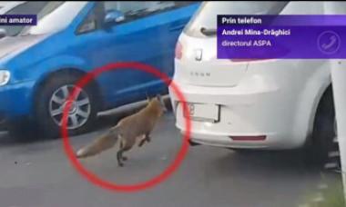 Încă o vulpe a fost filmată pe străzile din București. Ar putea fi o problemă, avertizează specialiștii