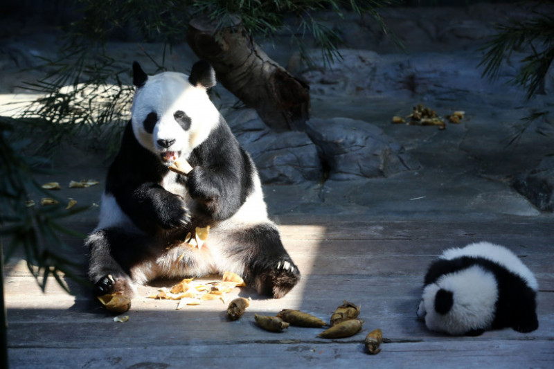 World's Only Alive Panda Triplets Start Living Together With Their Mother