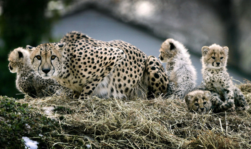 Cheetah Cubs Make Their Debut At National Zoo