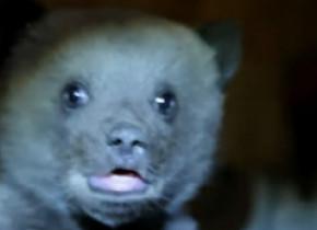 Pui de urs găsit într-o pădure din Bușteni nemâncat și fără să mai poată merge