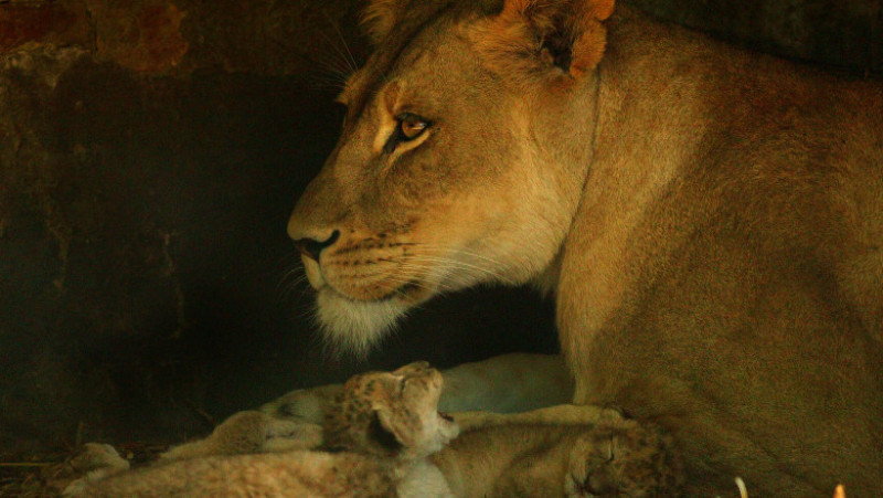 Lion cubs born at Adelaide Zoo