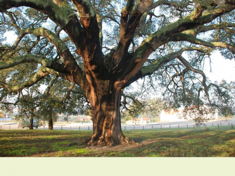 stejar de pluta