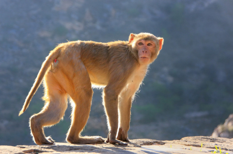 maimuta india