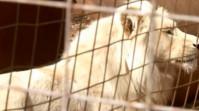 Campanie disperată de a opri vinderea unui leu pentru a fi ucis de vânătorii de trofee