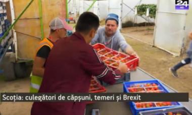 """Brexit. Fermierii scoțieni, îngrijorați că vor rămâne fără căpșunarii români: """"Fără ei, ar fi foarte, foarte greu"""""""