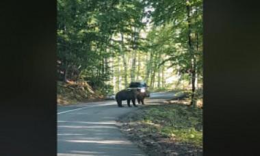 Un șofer încearcă să lovească cu mașina un urs aflat pe șosea - VIDEO