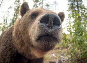 Ursul care cobora în apropierea orașului Târgu Mureș a fost relocat