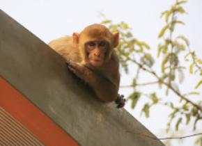 India: Doi bărbaţi au fost arestaţi după furturi cu ajutorul maimuţelor