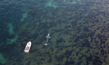 """O balenă cenușie s-a rătăcit în Mediterana și încearcă cu disperare să se întoarcă în Pacific. """"Este doar piele și os"""""""