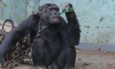 Dependent de alcool și țigări, cimpanzeul Tarzan a fost eliberat după 25 de ani. Era ținut captiv, cu un lanț la gât