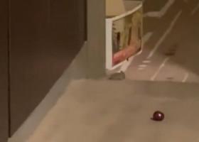 """VIDEO Imagini neverosimile de la Melbourne! O jucătoare a fost """"vizitată"""", din nou, de un șoarece în camera de hotel"""
